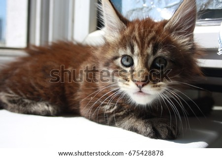 maincoon kitten #675428878