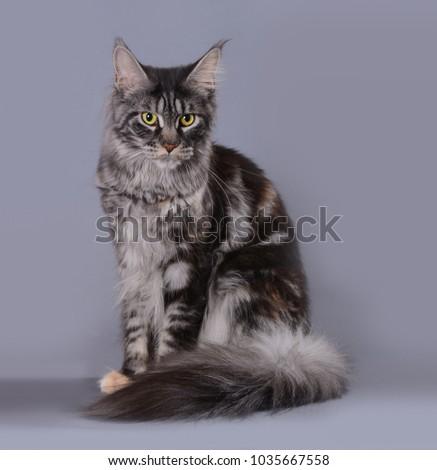 maine coon cat #1035667558