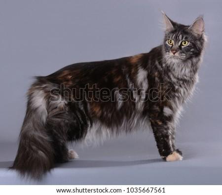 maine coon cat #1035667561