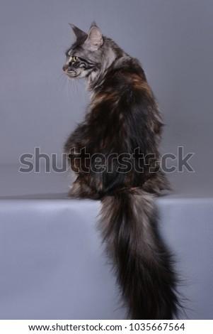 maine coon cat #1035667564