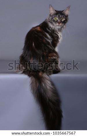 maine coon cat #1035667567