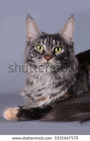 maine coon cat #1035667570