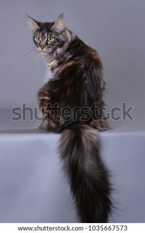 maine coon cat #1035667573