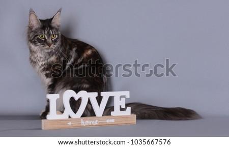 maine coon cat #1035667576