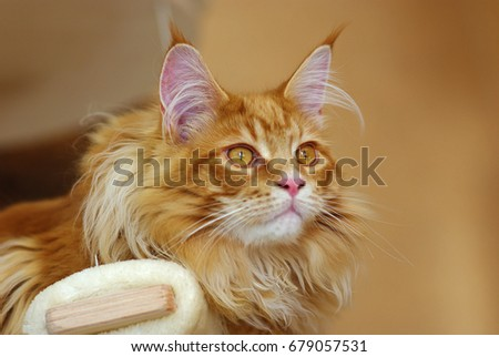 maine coon cat - Shutterstock ID 679057531