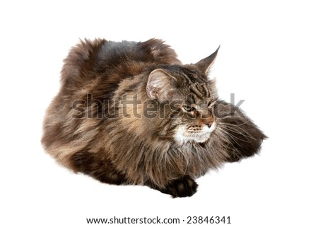 maine coon cat  against white background