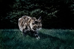 Maine Coon cat hunts at night. Night portrait of a cat prowling in the grass in the night garden. Front view, moonlight, semi-darkness, dark background.