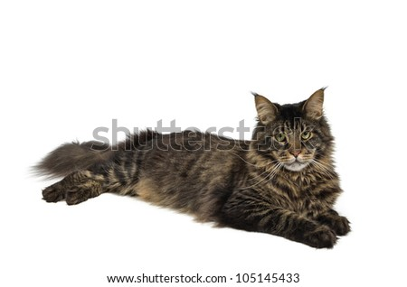 maine coon cat in the colour black tabby