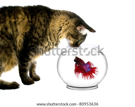 Maine coon cat intimidating a fish in a bowl