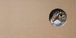 Maine coon cat looking funny out of a hole in a cardboard box.