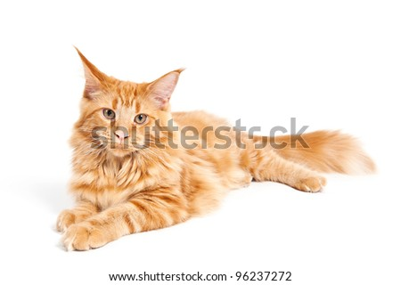 Maine Coon cat lying on white background