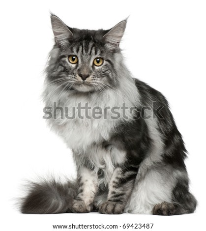 Maine Coon cat, 7 months old, sitting in front of white background