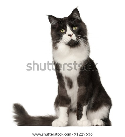 Maine Coon cat, 15 months old, sitting in front of white background