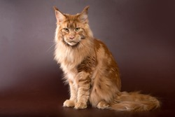 Maine Coon cat on a brown background of red marbled color with yellow eyes