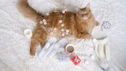 Maine Coon cat on a white fluffy blanket lies in the Christmas decorations and looks at camera. Christmas , new year concept