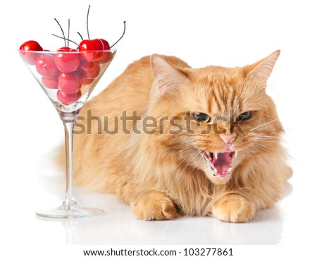 Maine Coon cat on white background. cat looking evil. agressive cat.