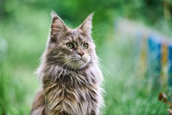 Maine coon cat portrait in garden. Adult cute tortoiseshell cat, park grass background. Big feline breed for home love and affection.