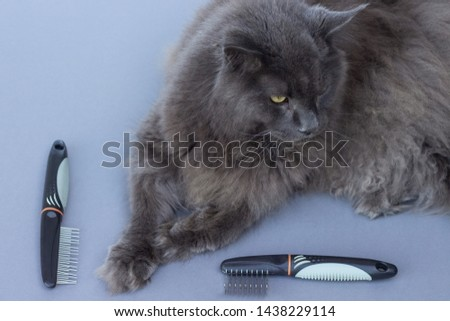 Maine Coon cat ready for grooming. Grooming tools