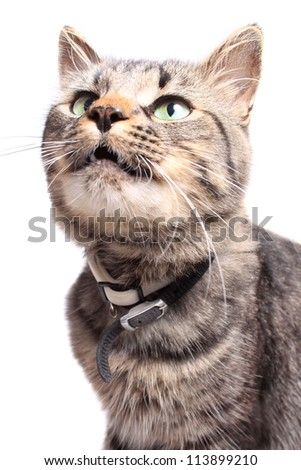 Maine Coon cat with green eyes looking up on a white background