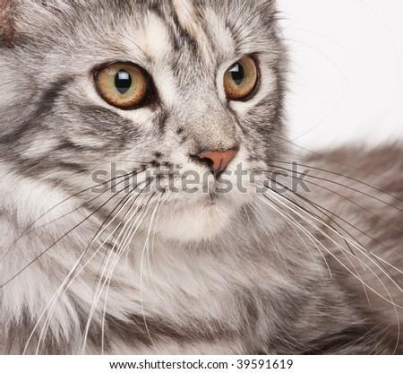 Maine-coon close-up portrait