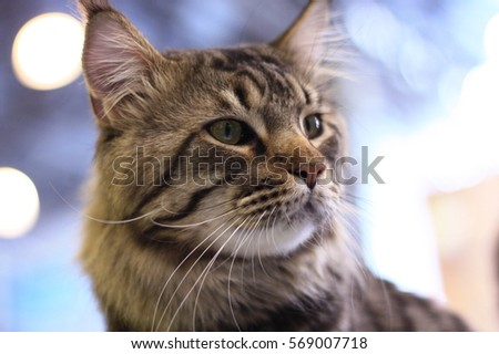 Maine Coon face #569007718