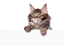 Maine Coon kitten holding sign or banner. Funny pet black tabby cat showing placard with space for text. Beautiful domestic kitty with blank board, isolated on white background.