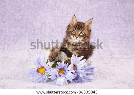 Maine Coon kitten in container with lilac purple flowers