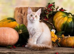 Maine coon kitten,  Little funny purebred cat, beige cream color.