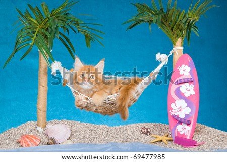 Maine Coon kitten lying in hammock on fake beach with palm trees