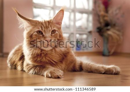 Maine Coon Kitten lying on the floor before Windows - stock photo