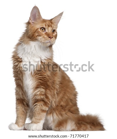 Maine Coon kitten, 7 months old, in front of white background