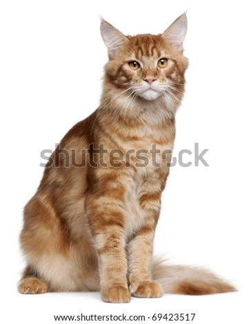 Maine Coon kitten, 9 months old, sitting in front of white background