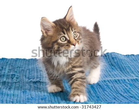 Maine Coon kitten on woven blue carpet, on white background