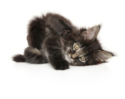 Maine-coon kitten resting on white background