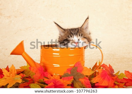 Maine Coon kitten sitting inside orange watering can with leaves on beige background