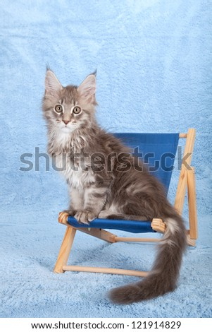 Maine Coon kitten sitting on miniature blue deck chair on blue background