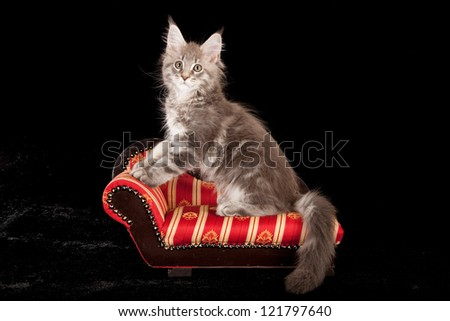 Maine Coon kitten sitting on miniature chaise sofa chair on black background