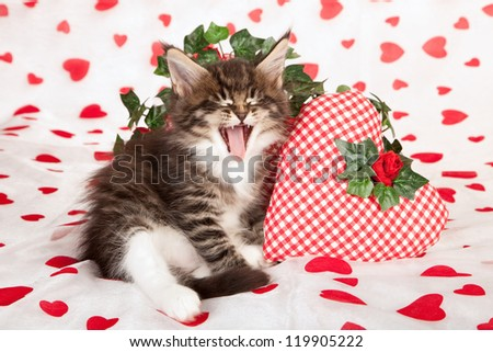 Maine Coon kitten with valentine heart cushions on white red heart background fabric