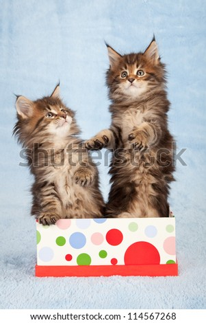 Maine Coon kittens in gift box container on blue background