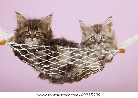 Maine Coon kittens lying in miniature hammock on lilac background