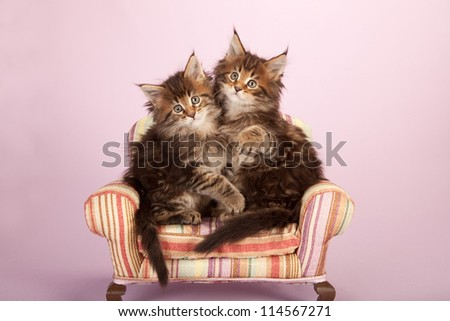 Maine Coon kittens on lilac pink background
