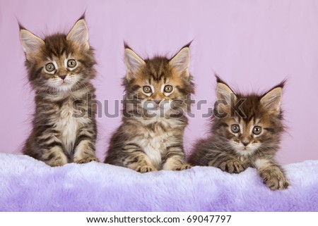 Maine Coon kittens on lilac purple faux fur cushion
