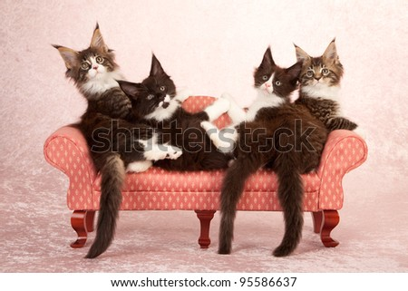 Maine Coon kittens on mini sofa couch on pink background