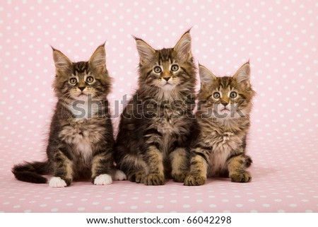 Maine Coon kittens on pink background