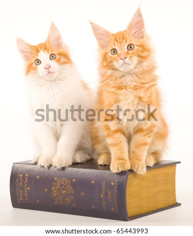 Maine Coon kittens on white background with old book
