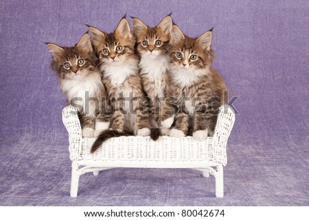 Maine Coon kittens on wicker chair on lilac background