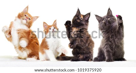 Maine Coon kittens raise their paws up #1019375920