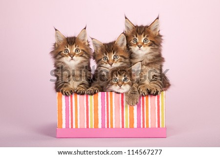 Maine Coon kittens sitting in gift box container on lilac pink background