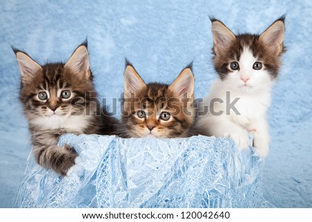 Maine Coon kittens sitting inside blue container with blue scarf on blue background