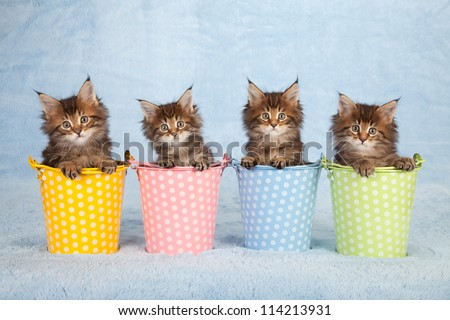 Maine Coon kittens sitting inside colorful pails buckets on blue background